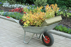 Wheelbarrow full of plants. Wheelbarrow full of young plants ready for bedding-out, standing on garden path Stock Image