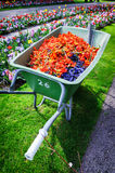 Wheelbarrow full of tulip pestles Stock Photos