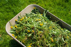 Wheelbarrow on lawn. Wheelbarrow filled with weed in garden Royalty Free Stock Image