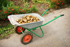 Wheelbarrow with potatoes Royalty Free Stock Photo