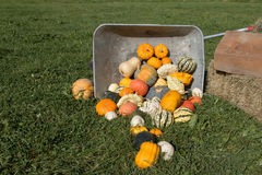 Wheelbarrow with Pumpkins. Fallen wheelbarrow with colorful pumpkins Royalty Free Stock Image