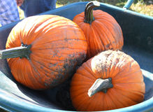 Wheelbarrow of pumpkins Stock Photo