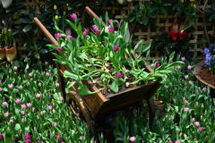 Wheelbarrow with purple tulips Royalty Free Stock Photography