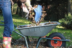 Wheelbarrow, rake and a lot of leafs Stock Images