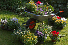 Wheelbarrow and trays with new plants Stock Photography