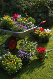 Wheelbarrow and trays with new plants Royalty Free Stock Photo