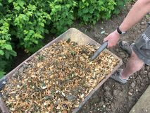 Wheelbarrow of Wood Chippings. Person shovelling wood chippings to be used as a mulch under raspberry bushes stock image