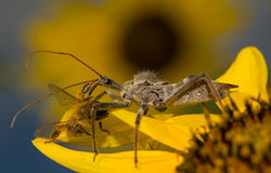 Wheelbug, Arilus cristatus, on a sunflower Royalty Free Stock Images