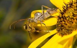 Wheelbug, das eine Biene isst Stockbild