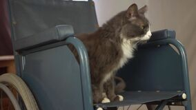 Wheelchair users pet cat relaxes in wheelchair