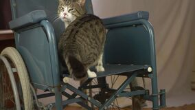 Wheelchair users tabby pet cat in a wheelchair