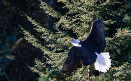 Wheeling and Turning. Bald Eagle climbs into the morning sun in front of forest Royalty Free Stock Photography