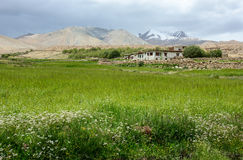 Wheet field at Aichi valley in Ladakh, India Royalty Free Stock Photos