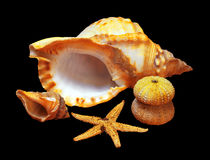 Whelk Stock Photography