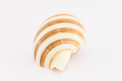 Whelk closeup Stock Photography