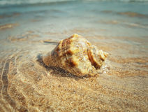 Whelk 5 Royalty Free Stock Photos
