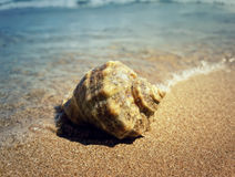 Whelk 4 Stock Images
