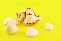 Whelk and seashells Royalty Free Stock Image