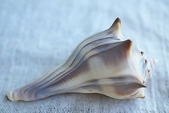 Whelk Shell Stockbild