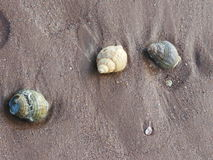 3 whelk shell Sea shells on the sand Stock Images
