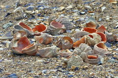 On the beach. Whelk shells Royalty Free Stock Image