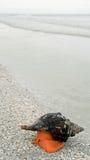 Whelk Snail. On beach on Sanibel Island, Florida Stock Photos