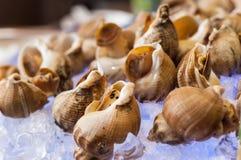 Whelks на льде стоковые фотографии rf