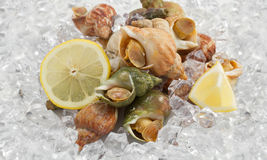 Whelks Stock Photo