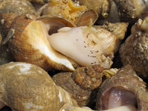 Whelks Anyone. An image showing Freshly caught Whelks Royalty Free Stock Photos