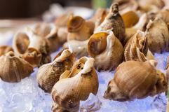 Whelks on ice Royalty Free Stock Photos