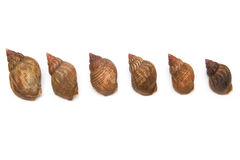 Whelks isolated on a white studio background. Stock Photo