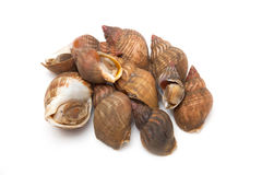 Whelks isolated on a white studio background. Royalty Free Stock Photo