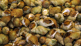 Whelks at the market Stock Photography