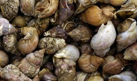 Whelks at the market Royalty Free Stock Image