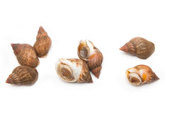 Whelks or sea snails Stock Images