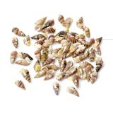 Whelks. On a white background Royalty Free Stock Photos