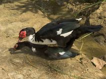 Where baby ducks come from. Mating Muscovy ducks stock photography