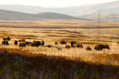 Where the Bison & Antelope Play Royalty Free Stock Photo