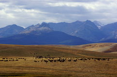 Where the Buffalo Roam. A herd of buffalo can be seen grazing on the vast grasslands at the foot of what is known as the Rocky Mountain Front.  These bison are Royalty Free Stock Photography
