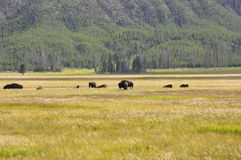 Where the buffalo roam. Buffalo roaming in Yellowstone National Park Royalty Free Stock Photo