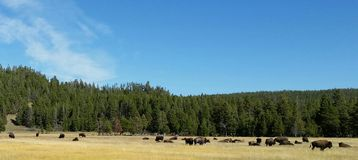Where the Buffalo roam. Yellowstone National Park where the buffalo roam free Stock Image