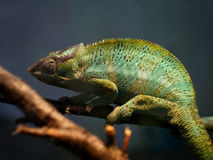 Where is the chameleon. This chameleon is watching you from his branch royalty free stock images