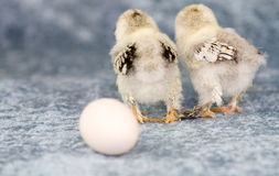 Where did the egg go. Two baby chicks looking in the wrong direction Stock Photo
