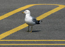 Where did I leave my Car. Sea gull in parking lot royalty free stock photography