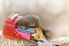 Where did i put it. Close up of red squirrel in a suitcase with clothing Royalty Free Stock Photo