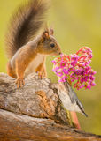 Where did he went. Red squirrel standing on tree trunk looking at a flower with a nuthatch under it Stock Photography