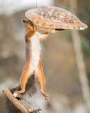 Where did you go. Red squirrel on stairs with turtle shell Stock Image
