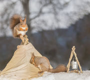 Where did you put it. Red squirrel standing on a tent in snow with another walking in it Royalty Free Stock Photo