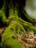 Where elves live.... Big, green roots and trunk of old tree. Soft focus added Stock Photos
