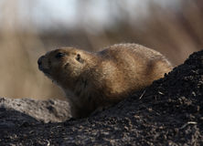 Where is everybody. A photo of a groundhog stock photo